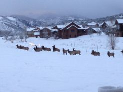 Winter Trek of Elk