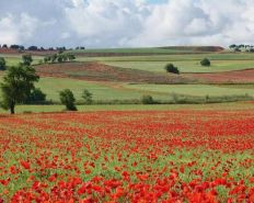 Spanish Poppy Fields